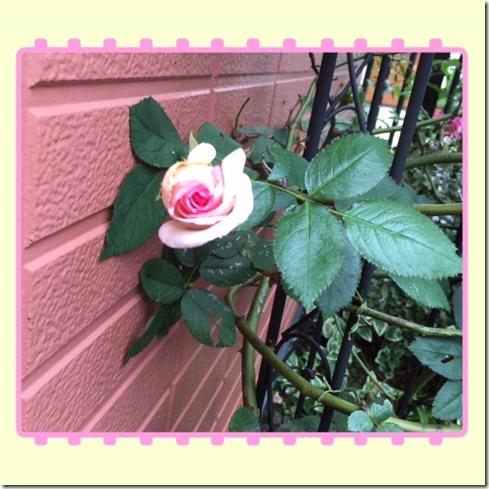 070616 rose