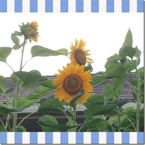 071016 sunflower