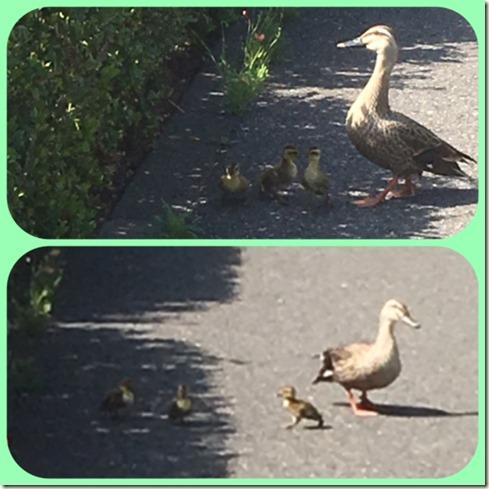 050817 duck family