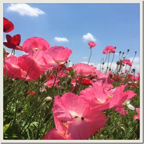 052817 poppy 2