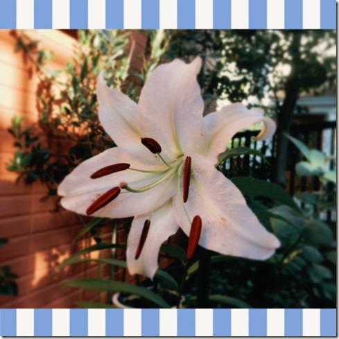 071417 Casablanca Lily